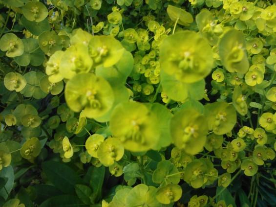 lumia plant