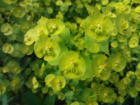 lumia plant macro