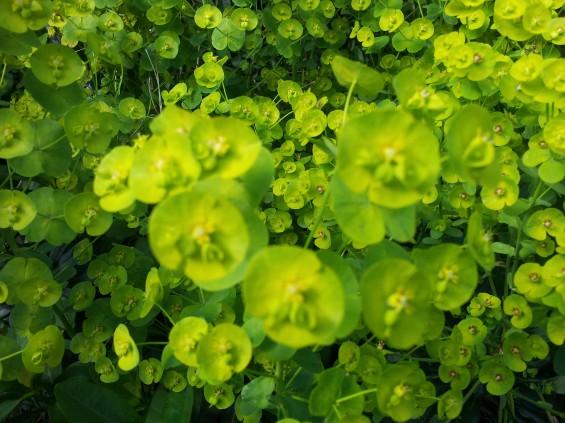 sgs2 plant