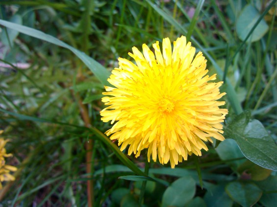 motoluxe dandelion