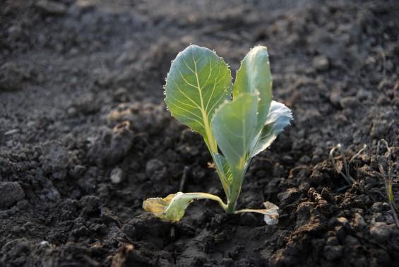 bud seed