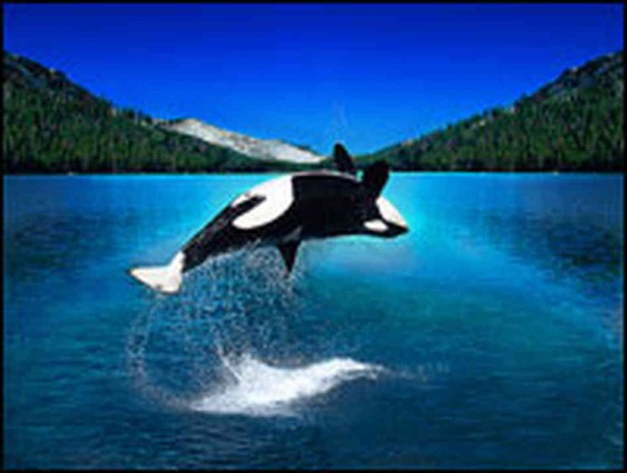 Shamu   maybe the next Nexus to make a splash