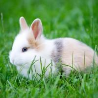 Baby Rabbit - blue Eyes