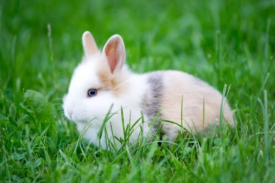 Baby Rabbit   blue Eyes
