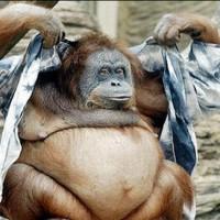 fat-animal